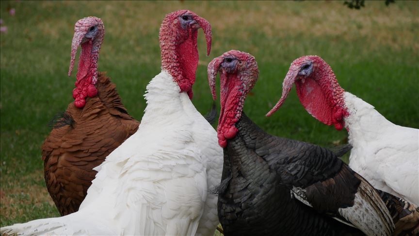 bronze and white local turkeys